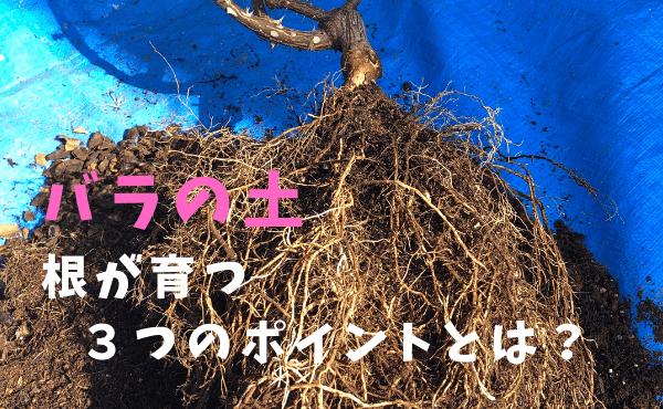 バラの鉢植え、根が育つ3つのポイント