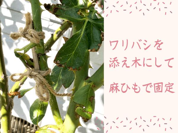 バラの折れた枝をワリバシで添える