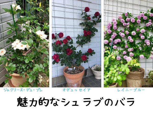 シュラブのバラの代表品種