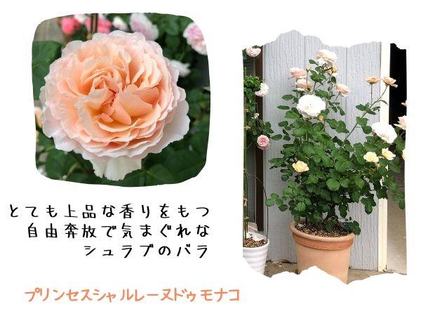 プリンセスシャルレーヌドゥモナコの花