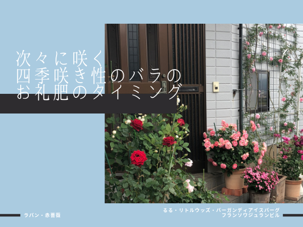 四季咲き性のバラのお礼肥はいつ?