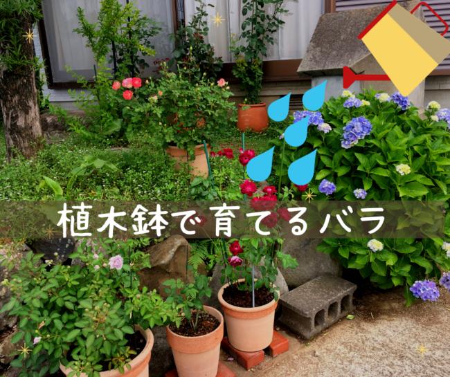 鉢植えで育てるバラ