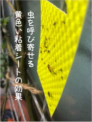 バラにくる虫を呼ぶ黄色い粘着シート