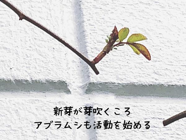 バラへのアブラムシの被害は新芽に