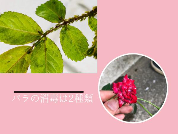 バラの消毒は大まかに2種類