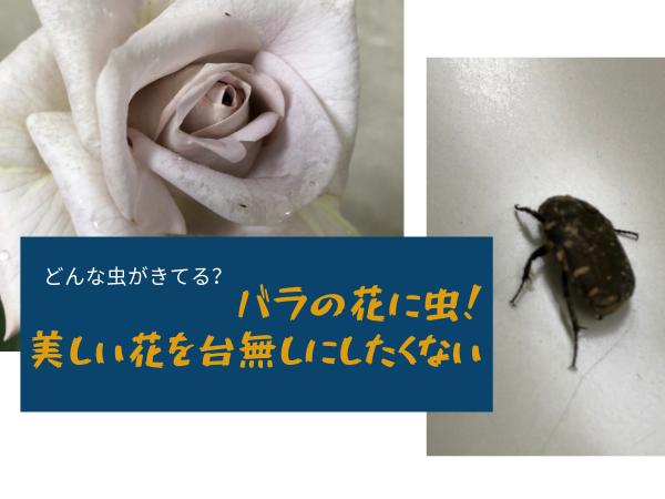 バラの花に虫が台無しに