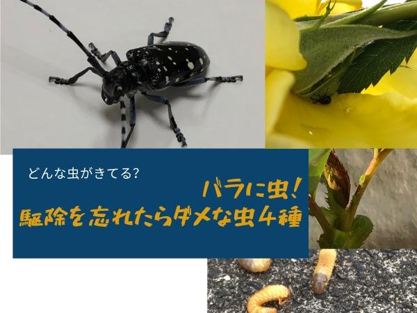 バラの虫で絶対駆除したい4種とは