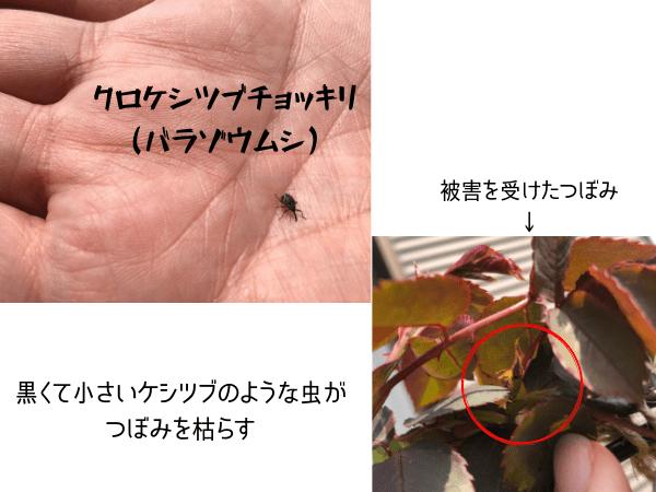 クロケシツブチョッキリの姿と被害
