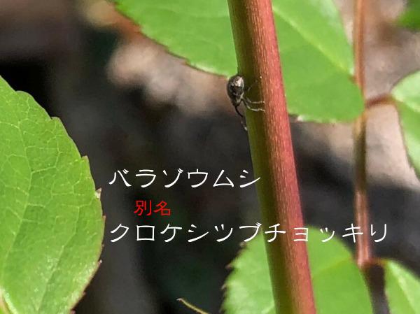 バラゾウムシ別名クロケシツブチョッキリ