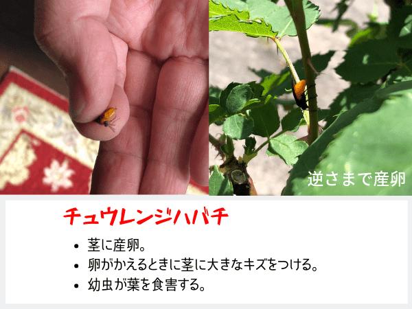 バラの葉にくる虫チュウレンジハバチの画像