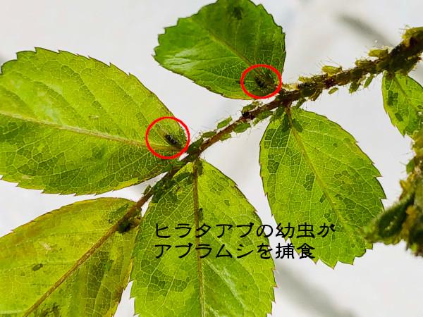 ヒラタアブの幼虫が捕食