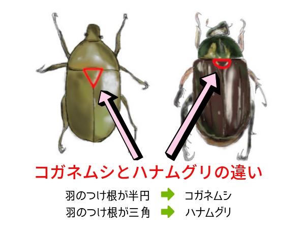 コガネムシとハナムグリの違い