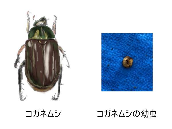 コガネムシと幼虫