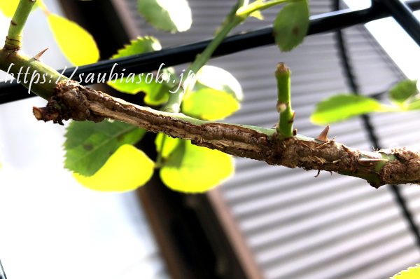 バラの枝をカミキリムシがかじったあと
