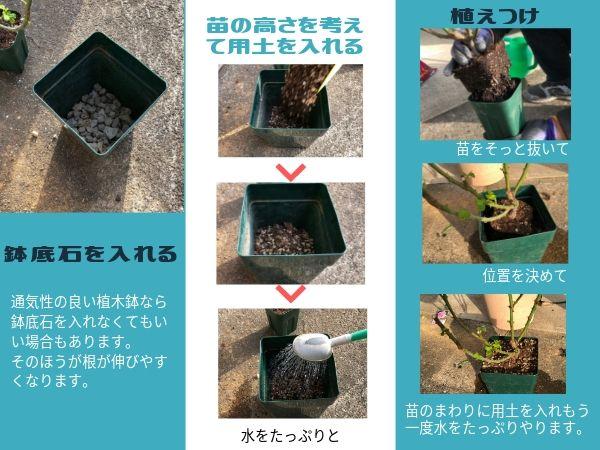 バラ苗大苗の鉢増しの手順
