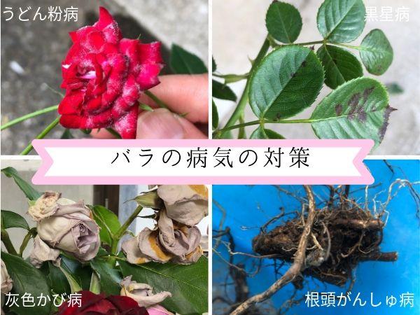バラの病気の対策