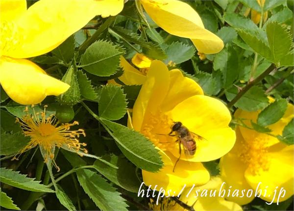 ロサ・フェティダとミツバチ