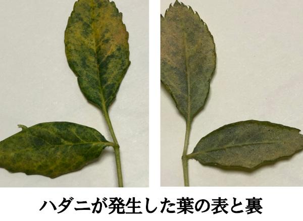バラにダニが発生した葉