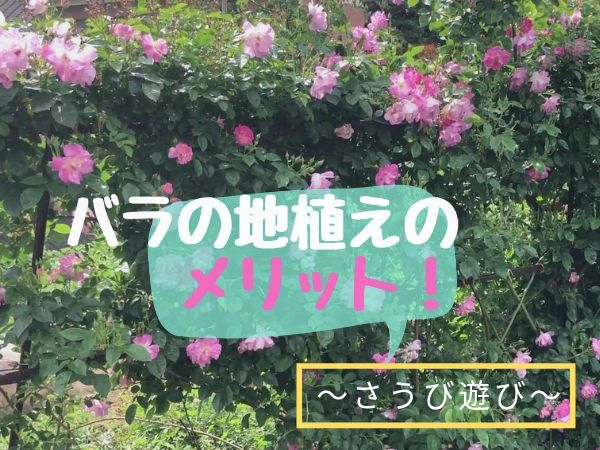 バラの地植えのメリット