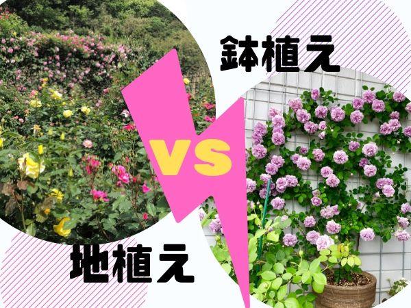 バラ地植えと鉢植えどっち?