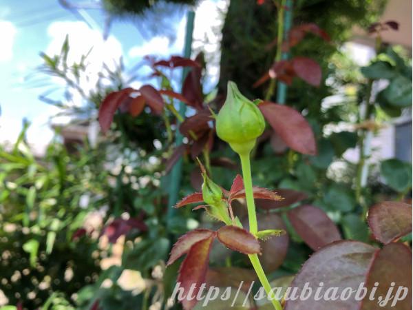 バラの摘蕾候補のつぼみ