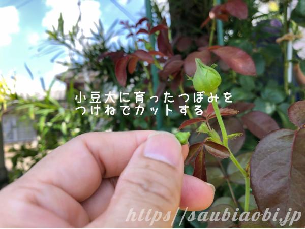 バラの小豆大のつぼみ