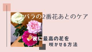 バラの二番花