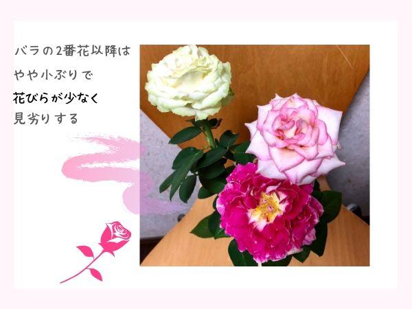 バラの二番花以降のケアの方法