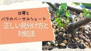 台芽とベーサルシュートの正しい見分け方