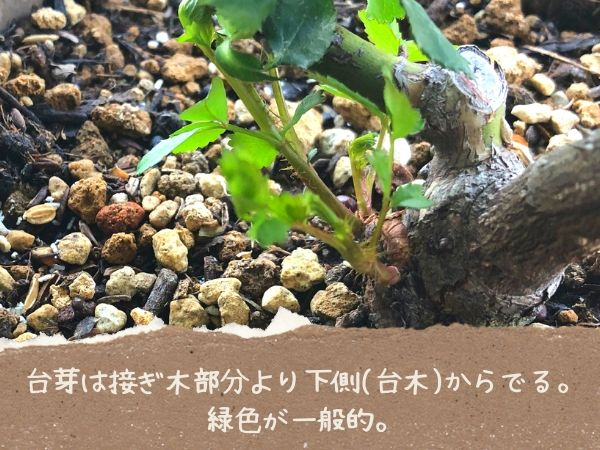 台芽は接ぎ木部分下側からでる