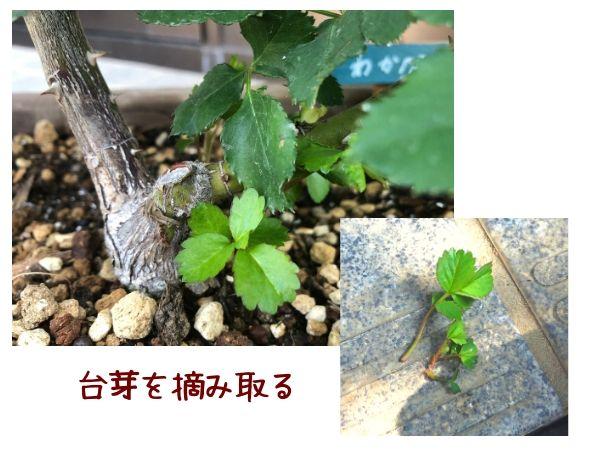 台芽を摘み取る