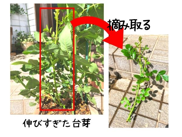 伸びすぎた台芽を摘み取る