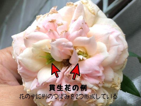 貫生花 バラ