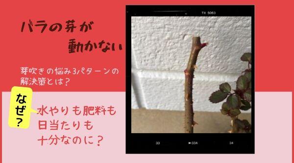 バラの芽が動かない。解決策