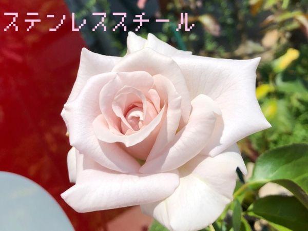 バラ品種ステンレススチール