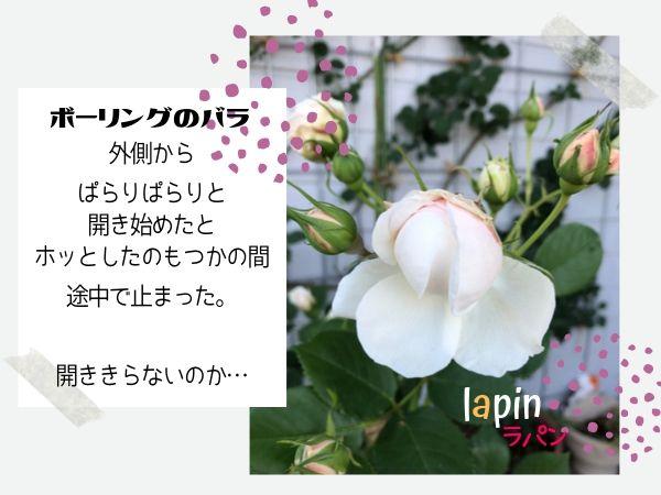 ボーリング バラの花が開かない