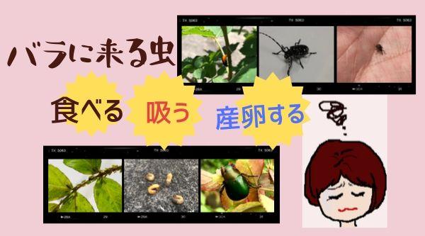 バラに来る虫。食べる・吸う・産卵する害虫への万全の対処法