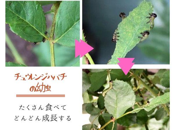 チュウレンジハバチ 幼虫の成長