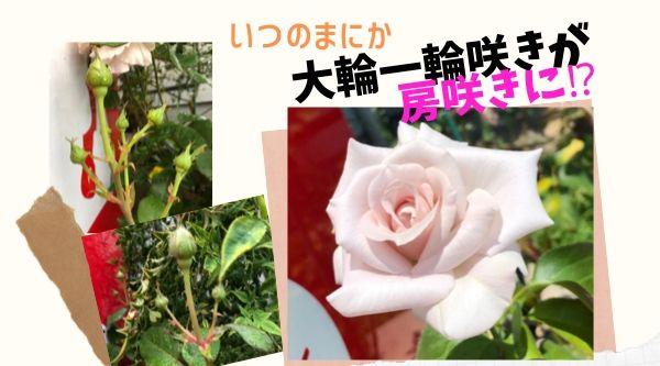 バラ房咲き