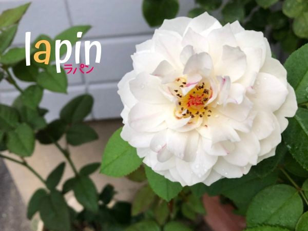バラ品種 ラパンの満開
