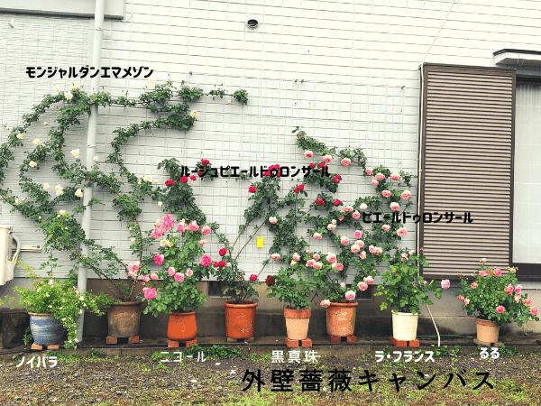 外壁誘引 薔薇キャンバス