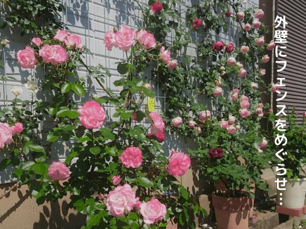 外壁フェンスにバラ