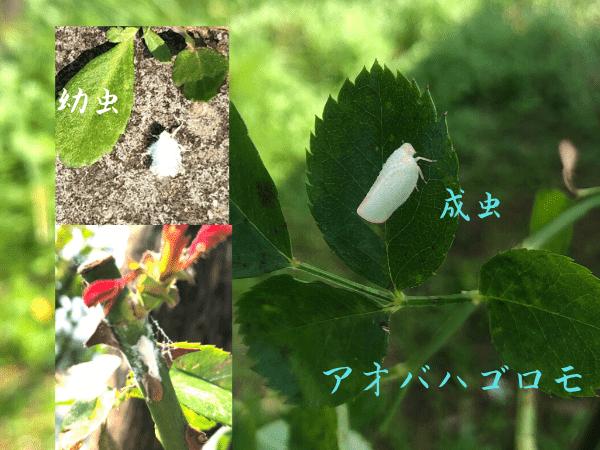 アオバハゴロモの幼虫と成虫