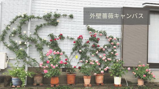 外壁薔薇キャンバス開花