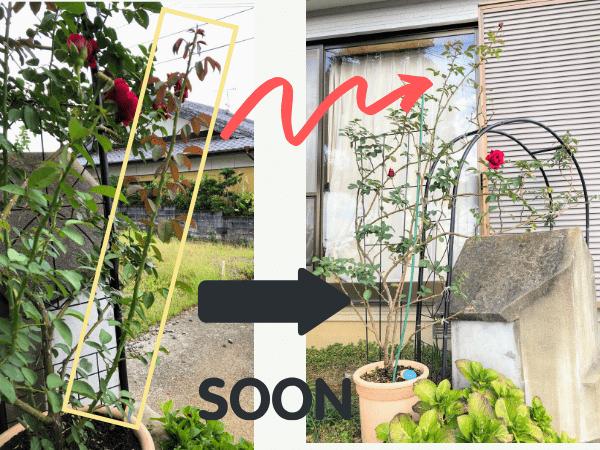 バラのシュートはすぐ長く伸びる