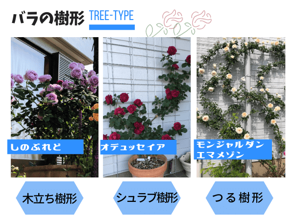 バラの樹形のタイプは3つ