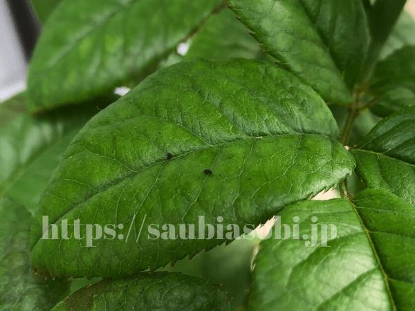 ホソオビアシブトクチバの幼虫のフン