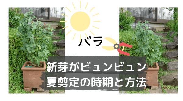 バラの夏剪定。新芽がビュンビュン出る時期と方法