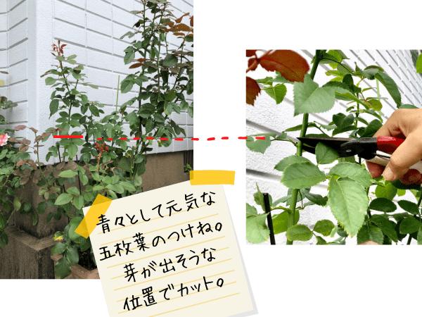 夏剪定。元気のいい5枚葉の付け根でカット