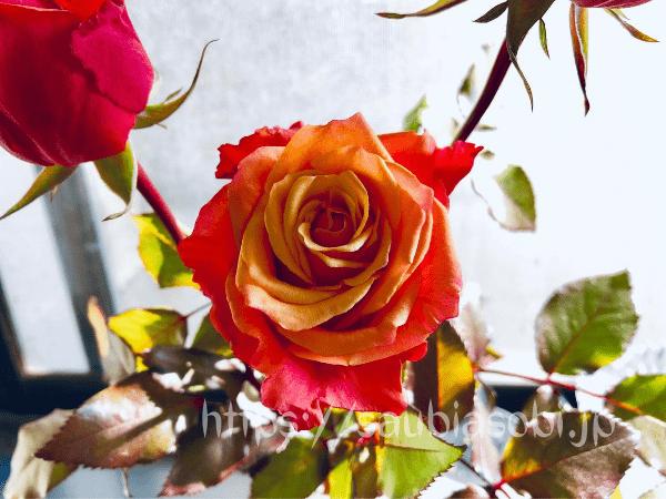 チェリーブランデー。とても花持ちがいいバラ。切り花向き